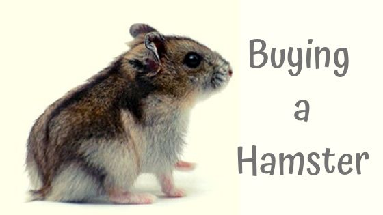 buying a hamster